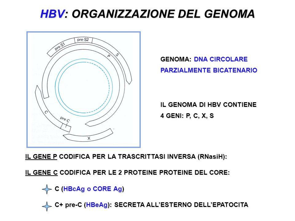 HBV: ORGANIZZAZIONE DEL GENOMA