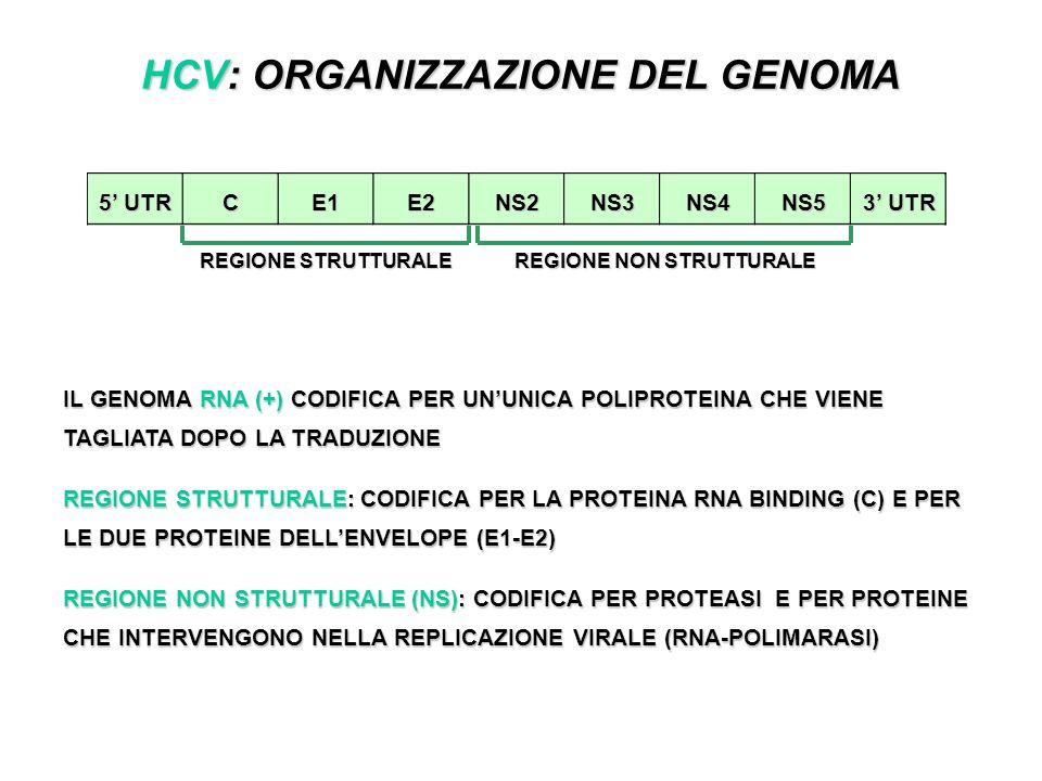 HCV: ORGANIZZAZIONE DEL GENOMA