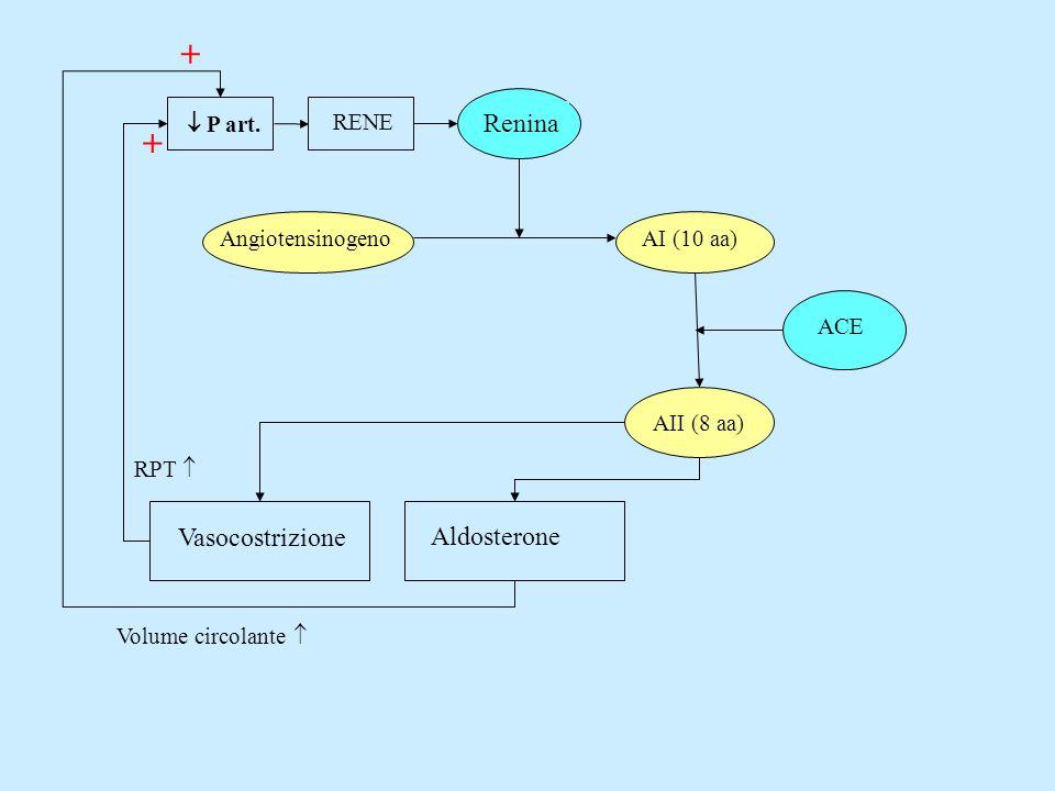 + + Renina Vasocostrizione Aldosterone  P art. RENE Angiotensinogeno