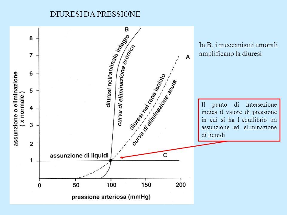 DIURESI DA PRESSIONE In B, i meccanismi umorali amplificano la diuresi