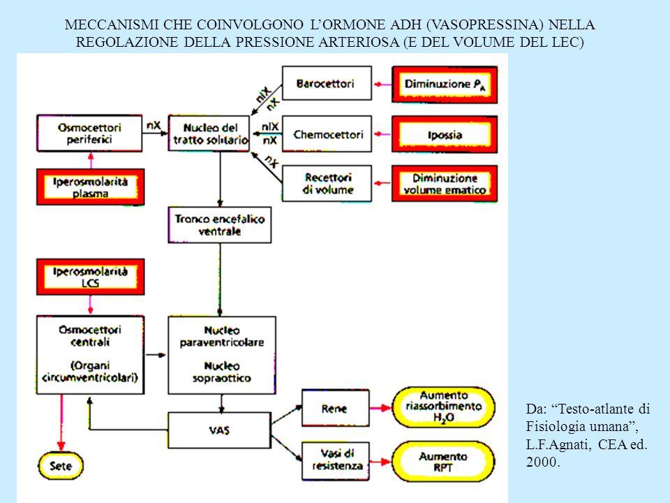 MECCANISMI CHE COINVOLGONO L'ORMONE ADH (VASOPRESSINA) NELLA REGOLAZIONE DELLA PRESSIONE ARTERIOSA (E DEL VOLUME DEL LEC)