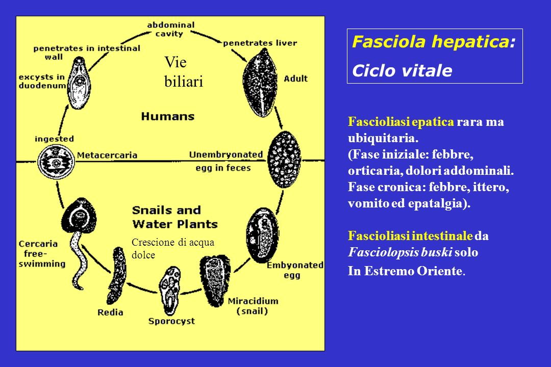 Fasciola hepatica: Ciclo vitale Vie biliari