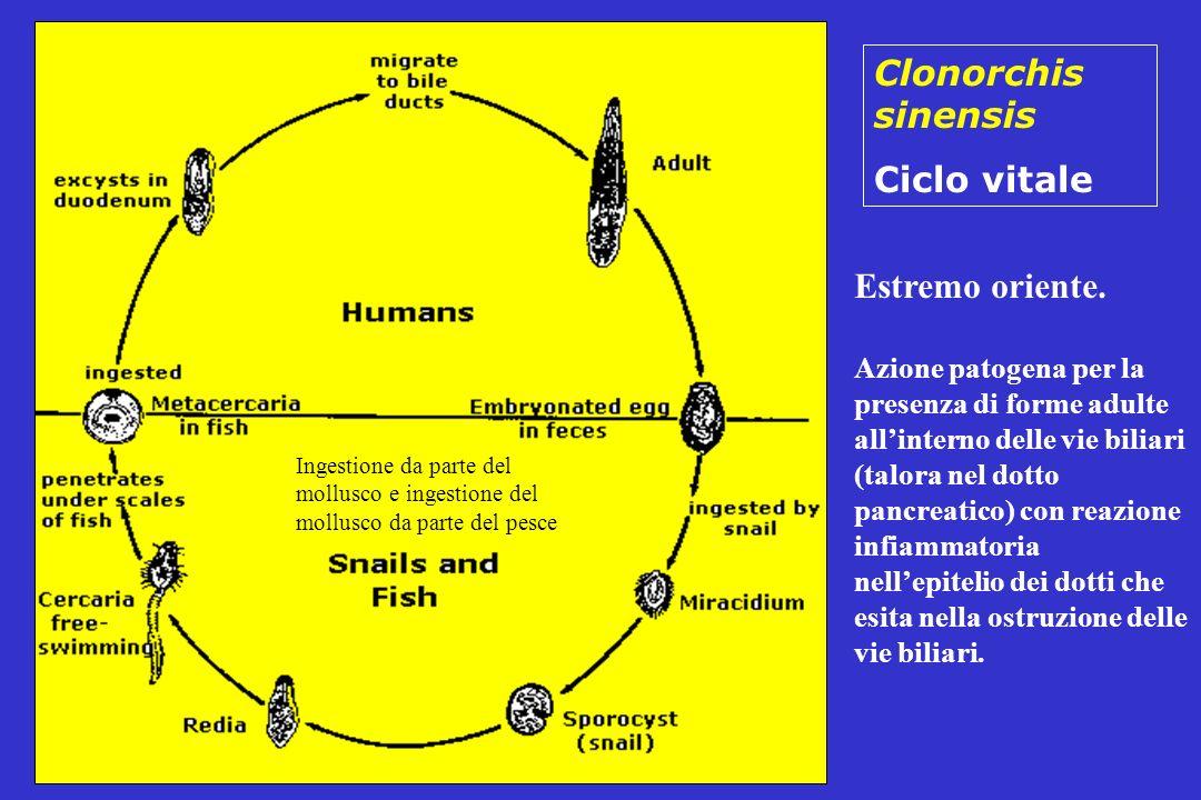 Clonorchis sinensis Ciclo vitale Estremo oriente.