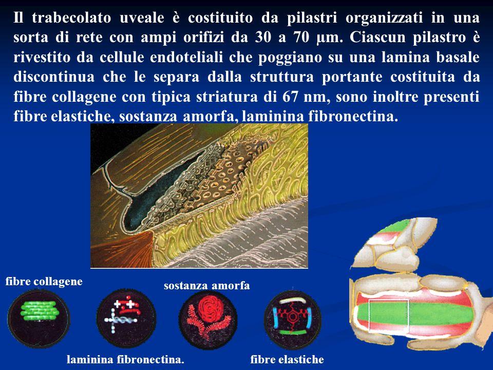 Il trabecolato uveale è costituito da pilastri organizzati in una sorta di rete con ampi orifizi da 30 a 70 µm. Ciascun pilastro è rivestito da cellule endoteliali che poggiano su una lamina basale discontinua che le separa dalla struttura portante costituita da fibre collagene con tipica striatura di 67 nm, sono inoltre presenti fibre elastiche, sostanza amorfa, laminina fibronectina.