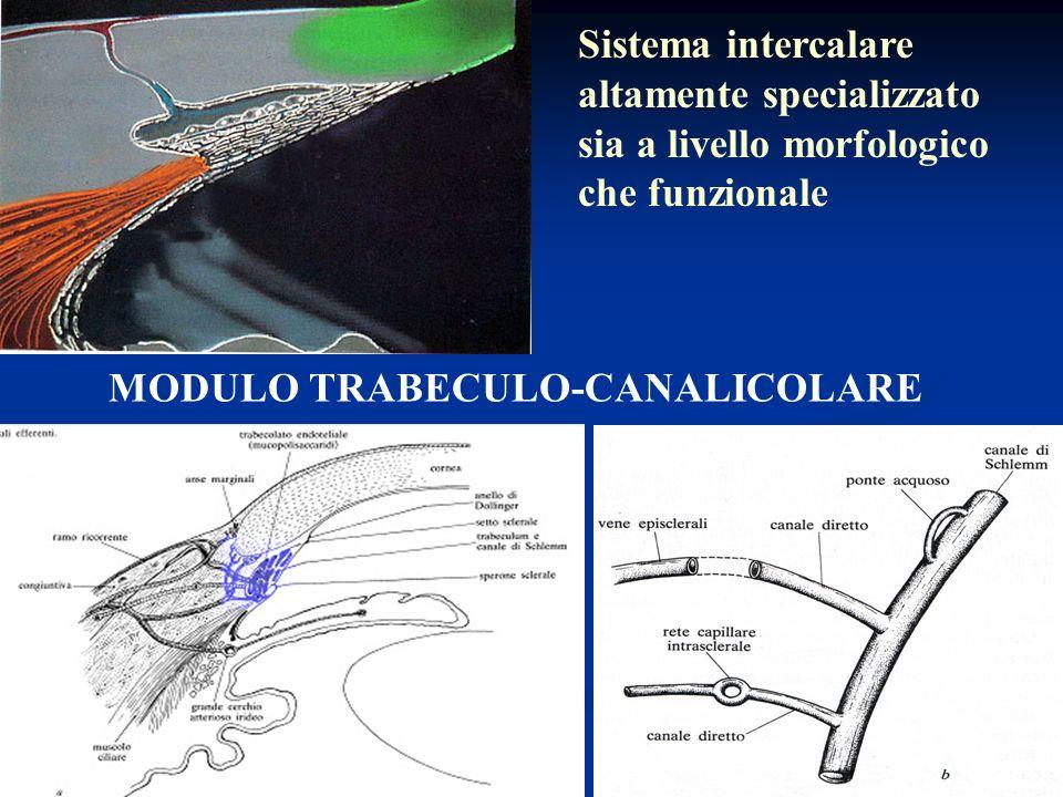 Sistema intercalare altamente specializzato sia a livello morfologico che funzionale
