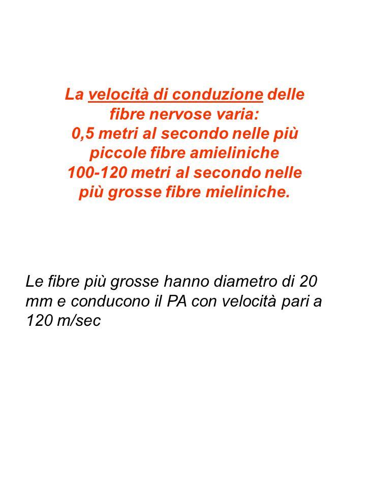 La velocità di conduzione delle fibre nervose varia: