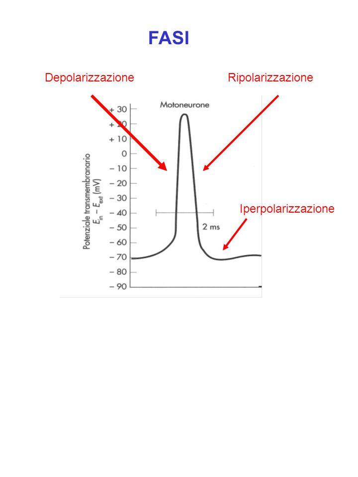 FASI Depolarizzazione Ripolarizzazione Iperpolarizzazione