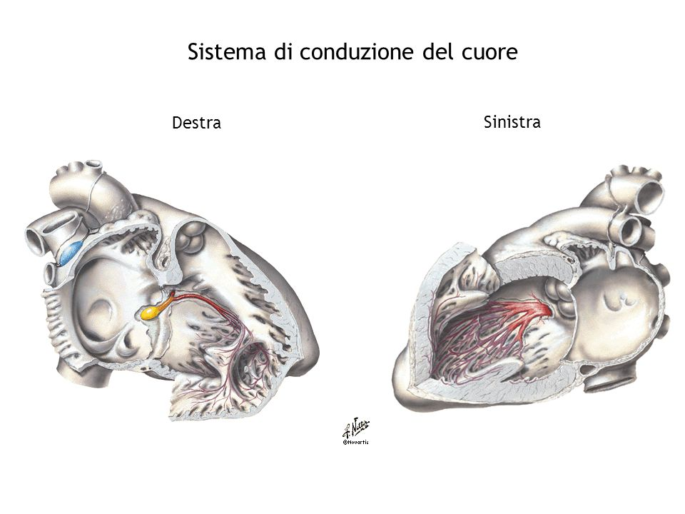 Sistema di conduzione del cuore