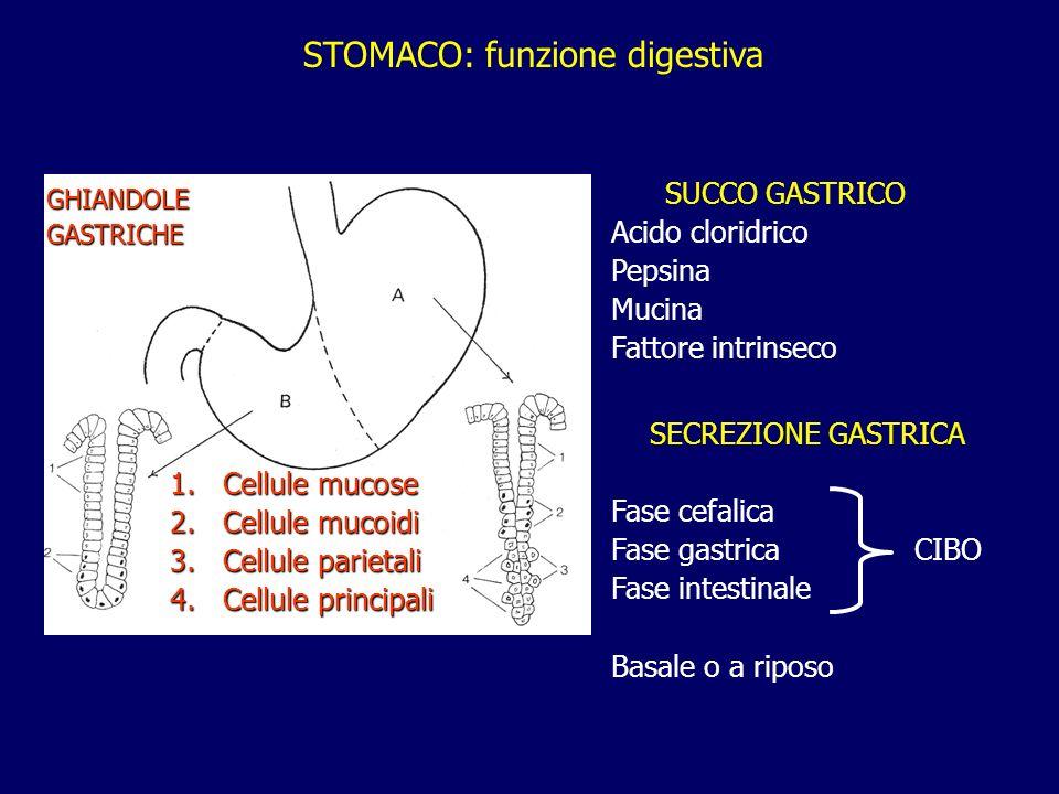 STOMACO: funzione digestiva