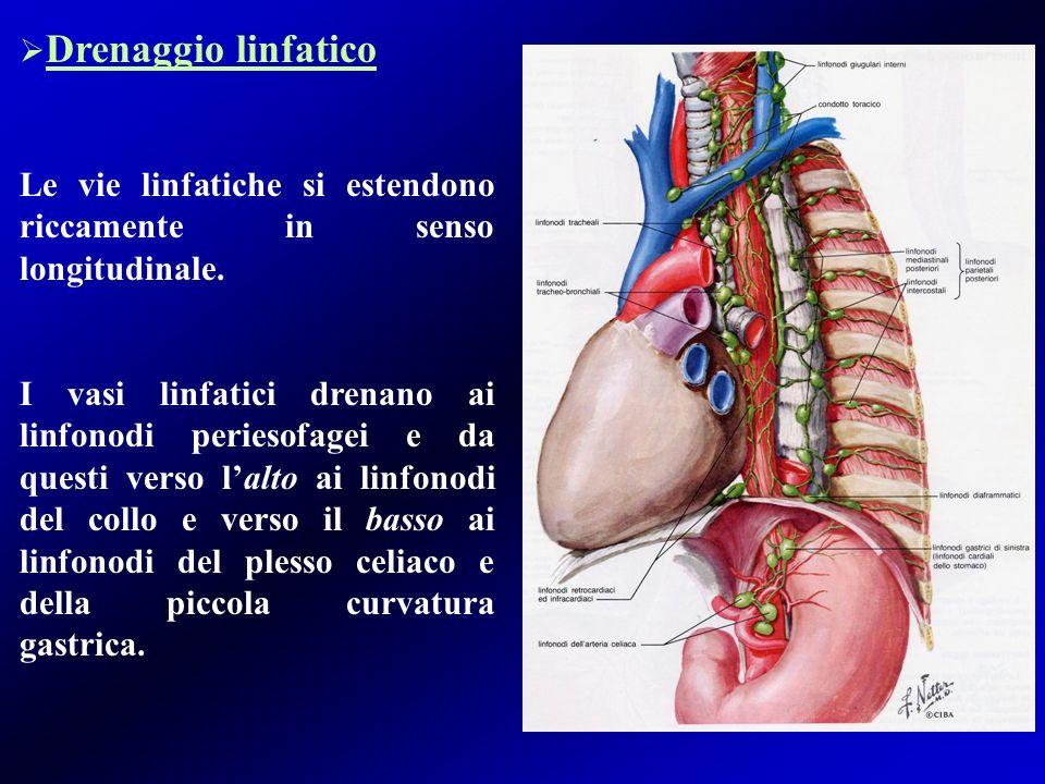 Drenaggio linfatico Le vie linfatiche si estendono riccamente in senso longitudinale.