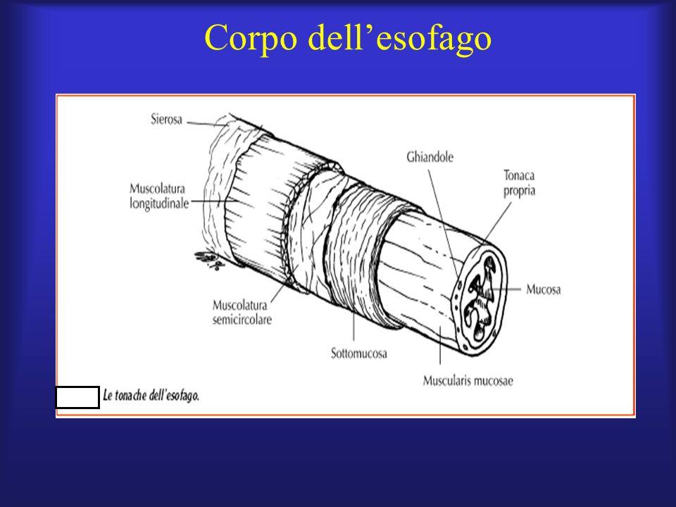 Corpo dell'esofago