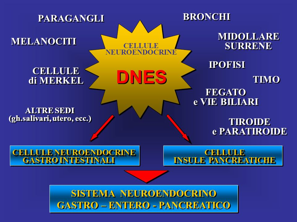 DNES BRONCHI PARAGANGLI MIDOLLARE MELANOCITI SURRENE IPOFISI CELLULE