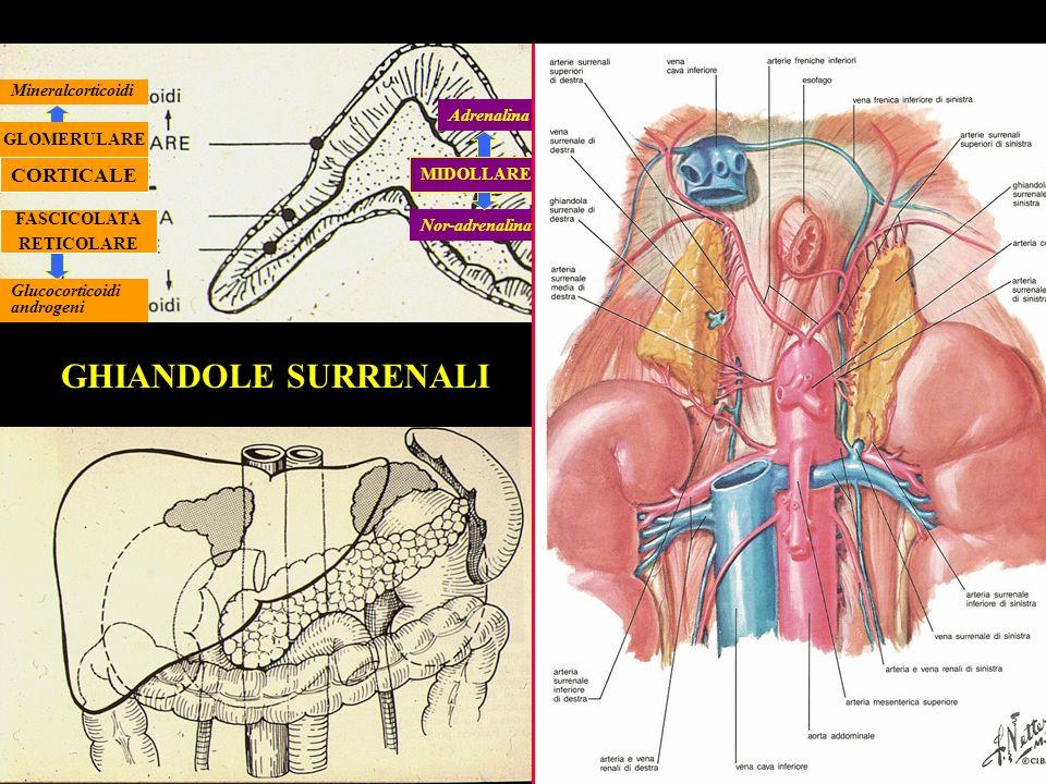 GHIANDOLE SURRENALI CORTICALE Mineralcorticoidi Adrenalina GLOMERULARE