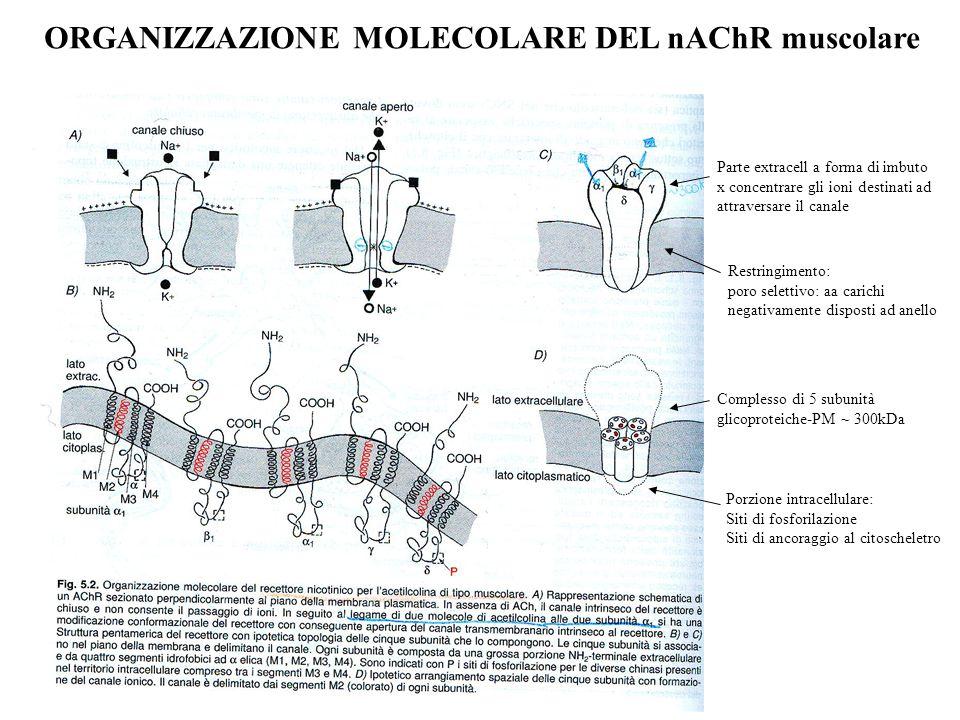 ORGANIZZAZIONE MOLECOLARE DEL nAChR muscolare