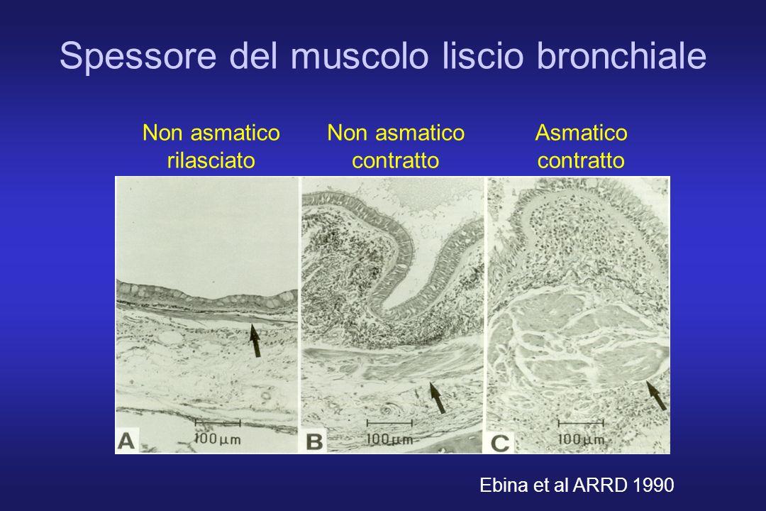 Spessore del muscolo liscio bronchiale