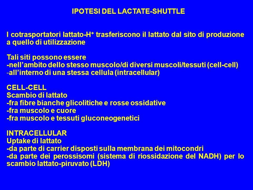 IPOTESI DEL LACTATE-SHUTTLE