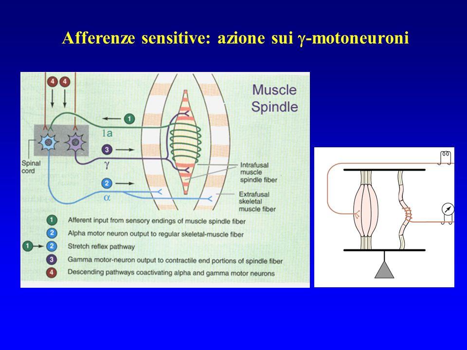 Afferenze sensitive: azione sui -motoneuroni