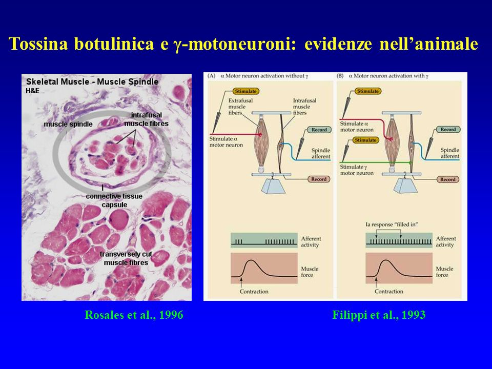 Tossina botulinica e -motoneuroni: evidenze nell'animale