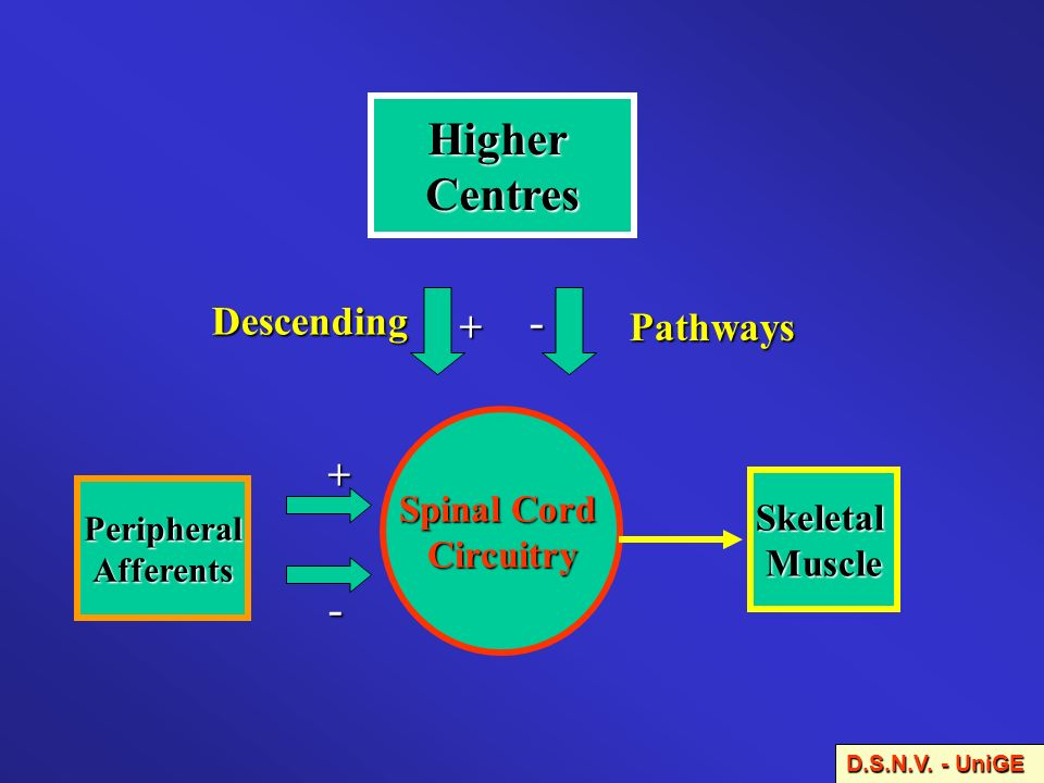Higher Centres - - Descending + Pathways + Spinal Cord Circuitry