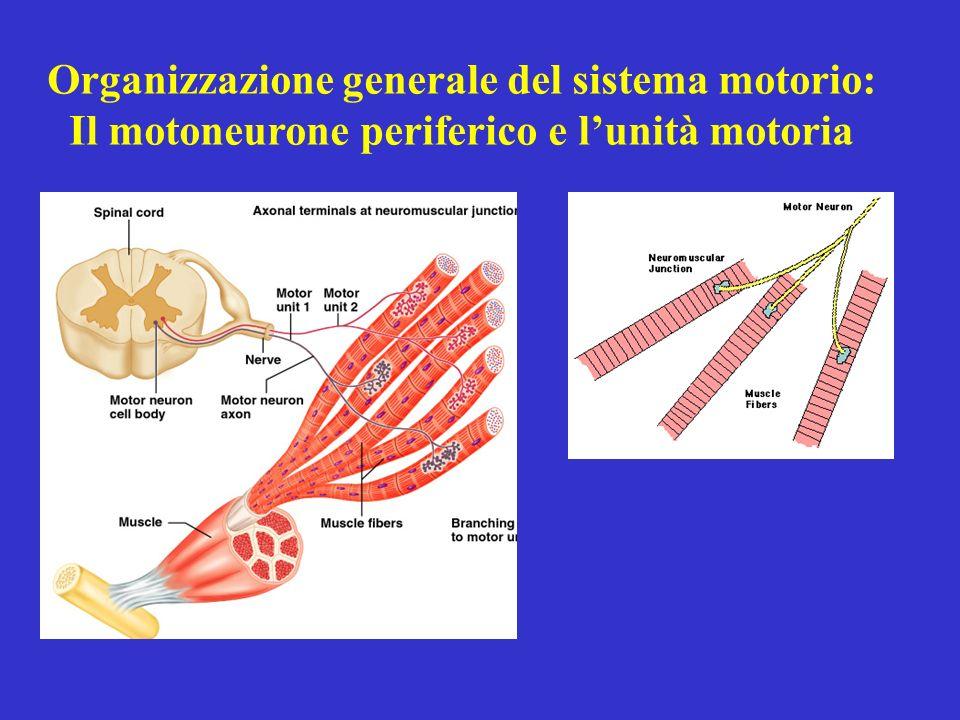 Organizzazione generale del sistema motorio: