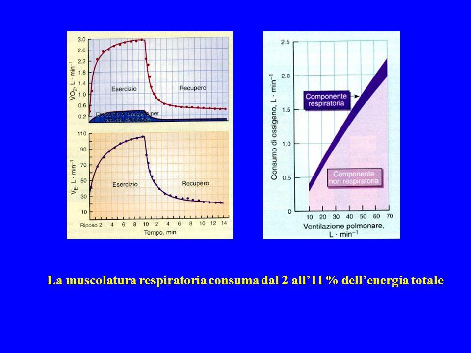 La muscolatura respiratoria consuma dal 2 all'11 % dell'energia totale