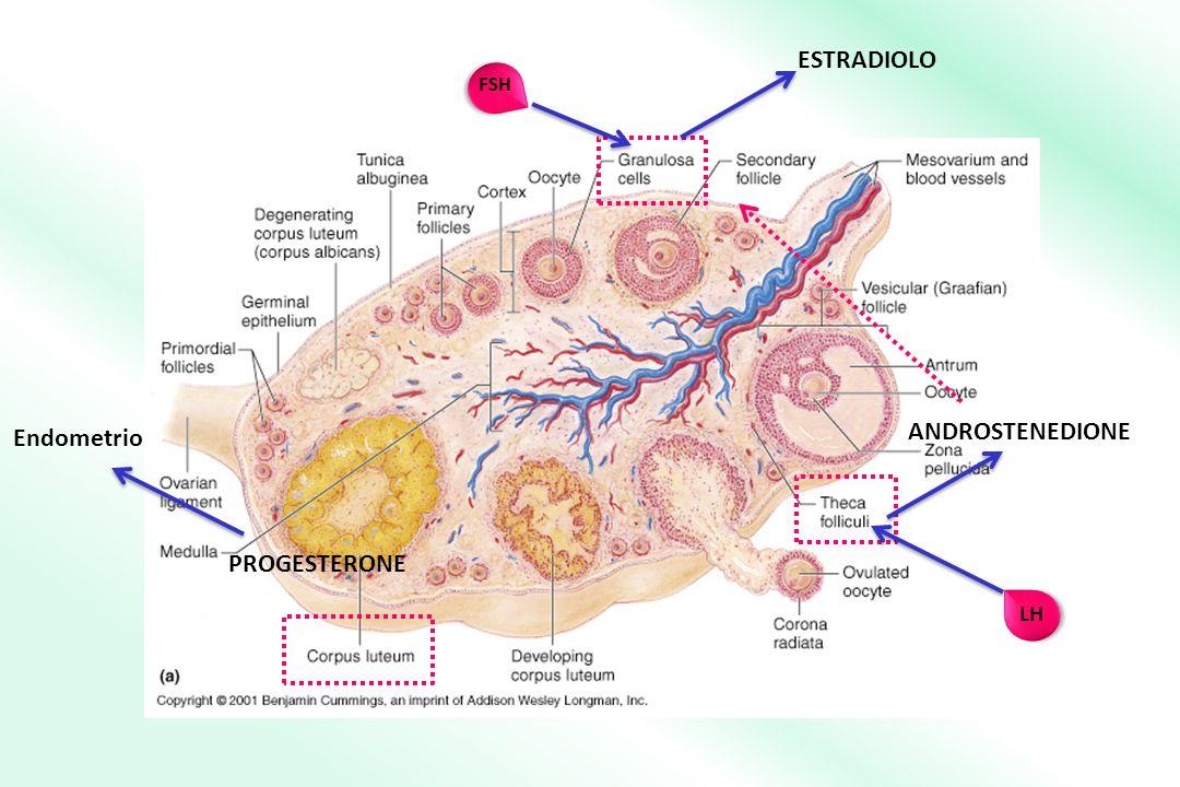 ESTRADIOLO ANDROSTENEDIONE Endometrio PROGESTERONE