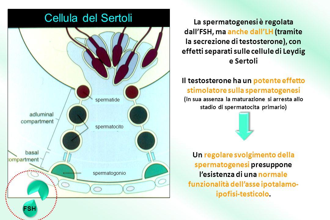 Il testosterone ha un potente effetto stimolatore sulla spermatogenesi