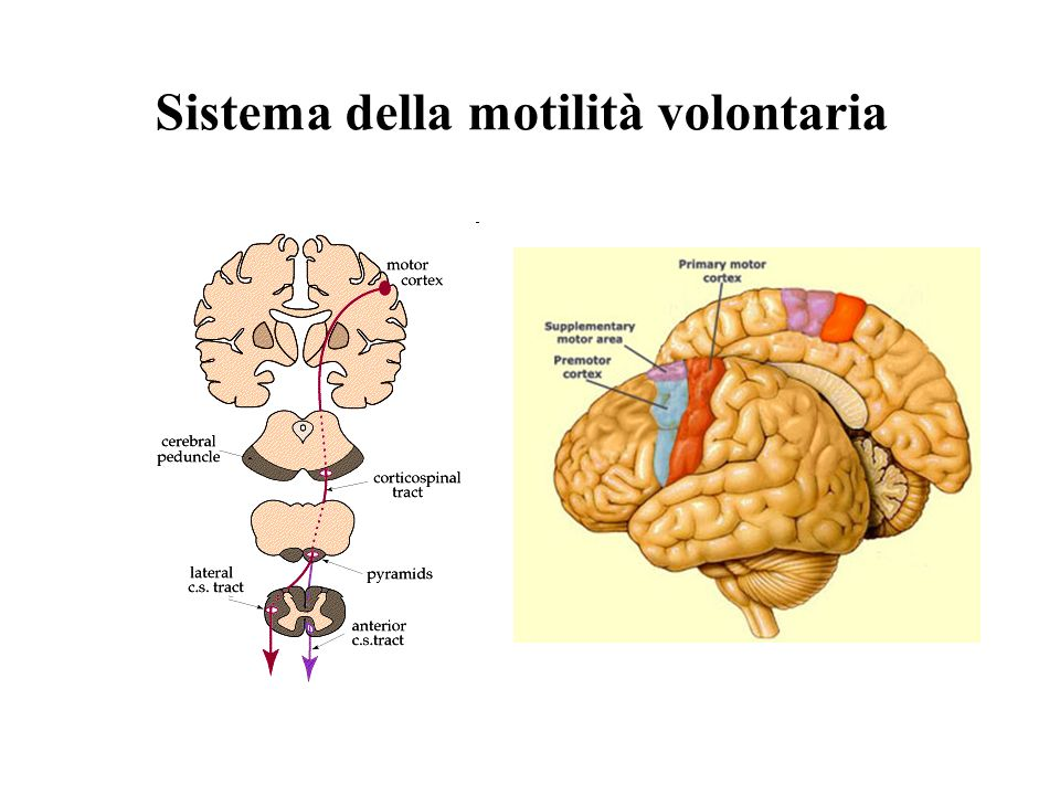 Sistema della motilità volontaria