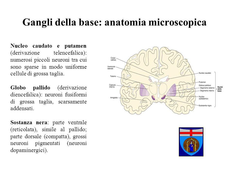 Gangli della base: anatomia microscopica