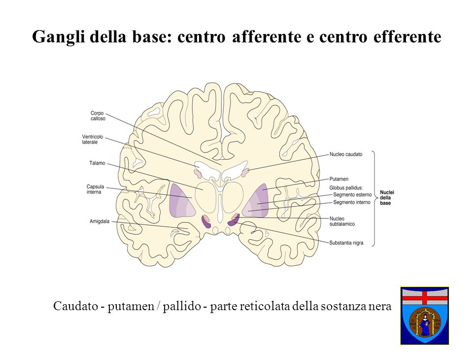 Gangli della base: centro afferente e centro efferente