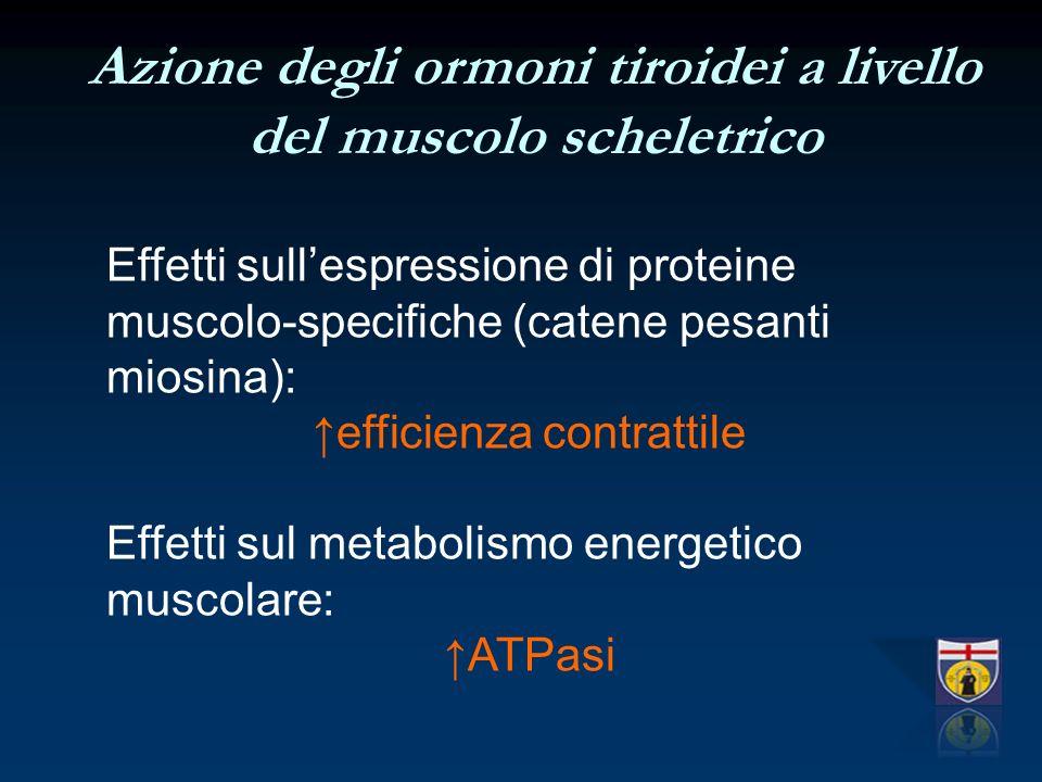 Azione degli ormoni tiroidei a livello del muscolo scheletrico
