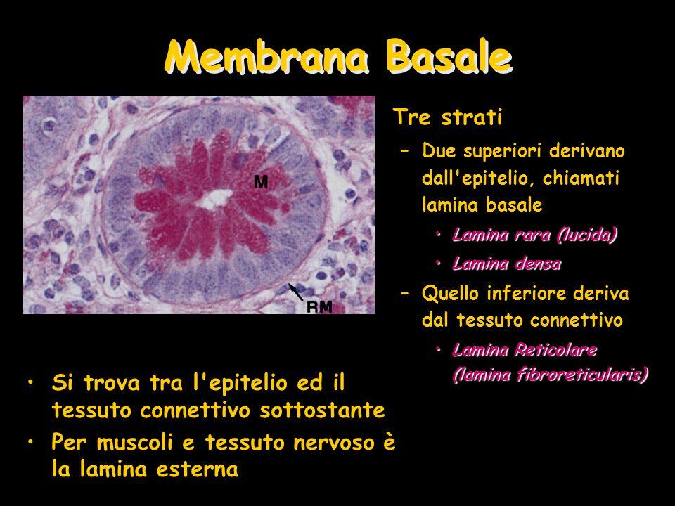 Membrana Basale Tre strati