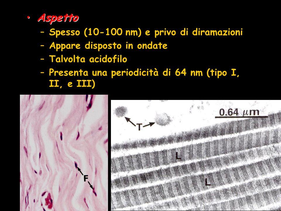 Aspetto Spesso (10-100 nm) e privo di diramazioni