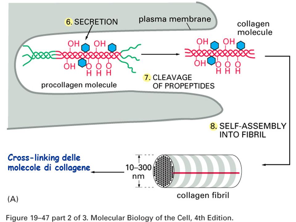 Cross-linking delle molecole di collagene
