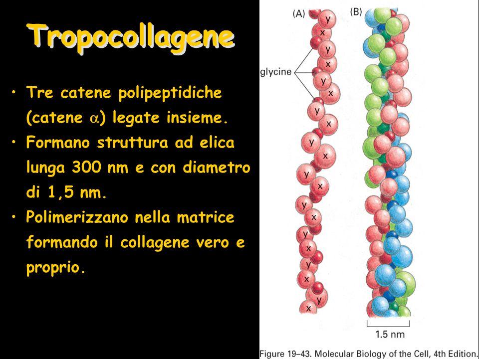 Tropocollagene Tre catene polipeptidiche (catene ) legate insieme.