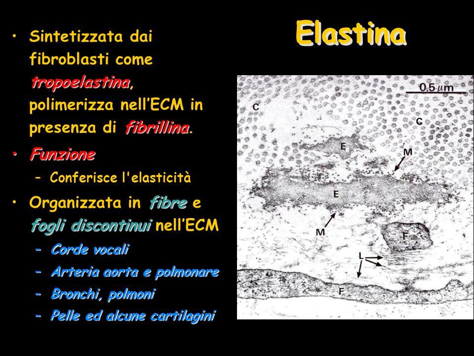 Elastina Sintetizzata dai fibroblasti come tropoelastina, polimerizza nell'ECM in presenza di fibrillina.