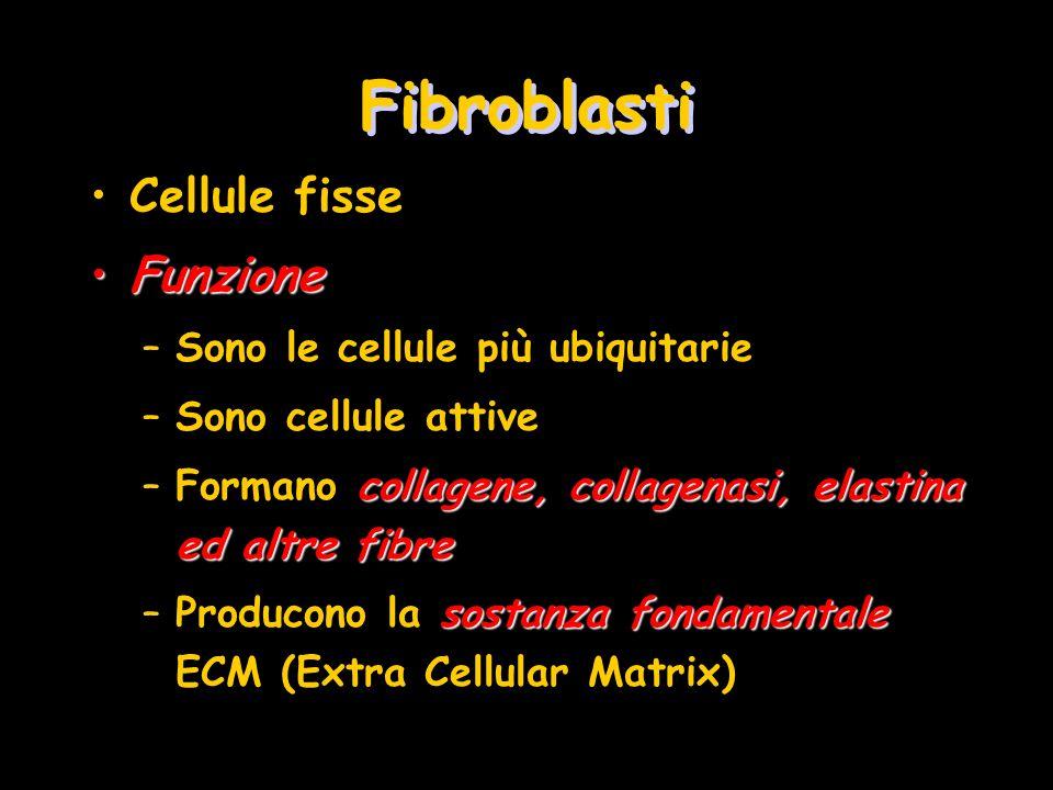 Fibroblasti Cellule fisse Funzione Sono le cellule più ubiquitarie