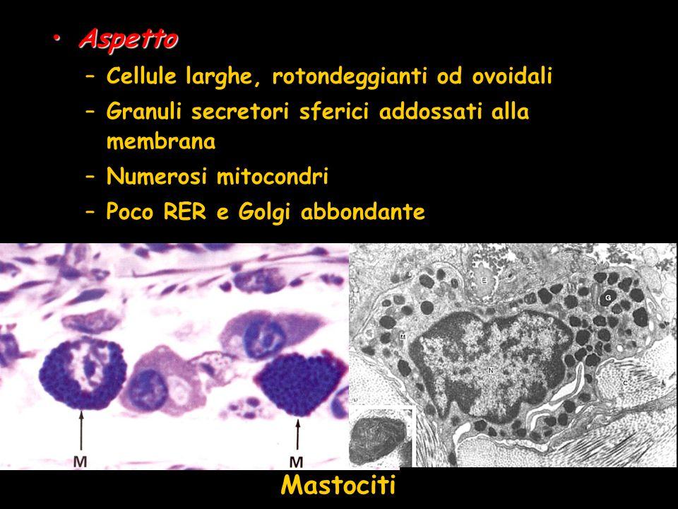 Aspetto Mastociti Cellule larghe, rotondeggianti od ovoidali