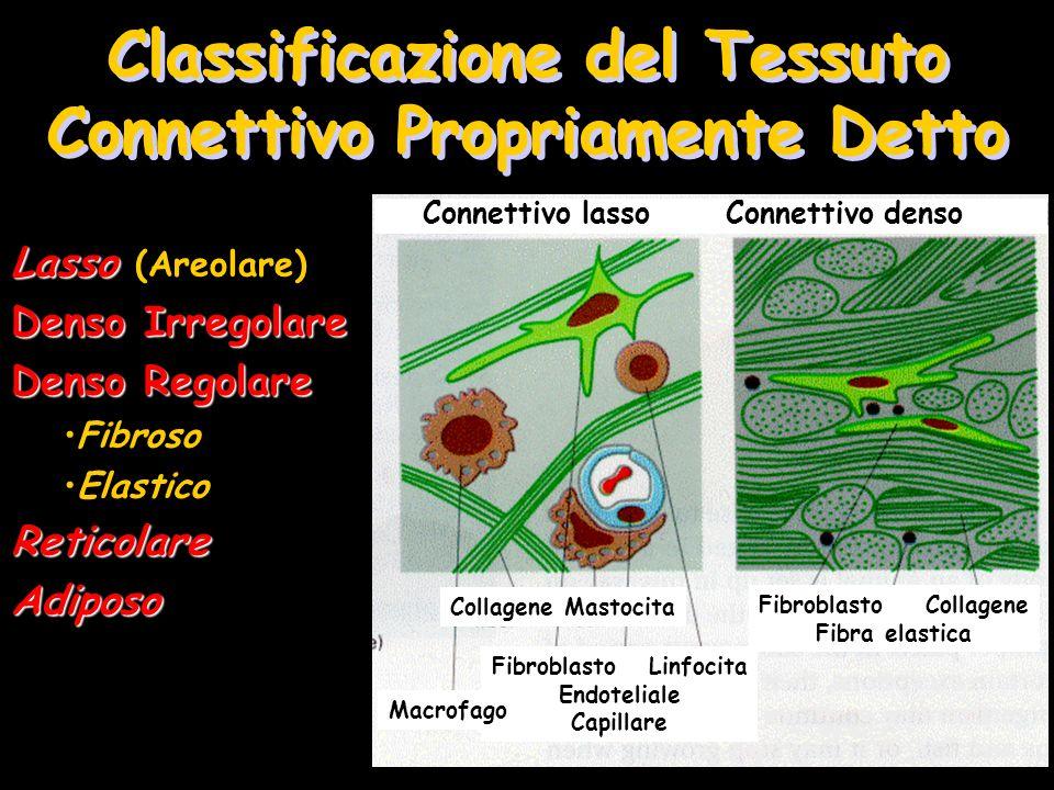 Classificazione del Tessuto Connettivo Propriamente Detto