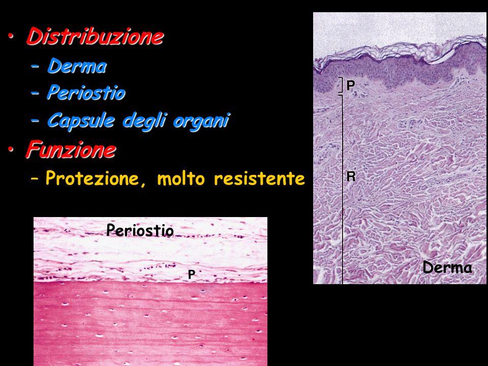 Distribuzione Funzione Derma Periostio Capsule degli organi