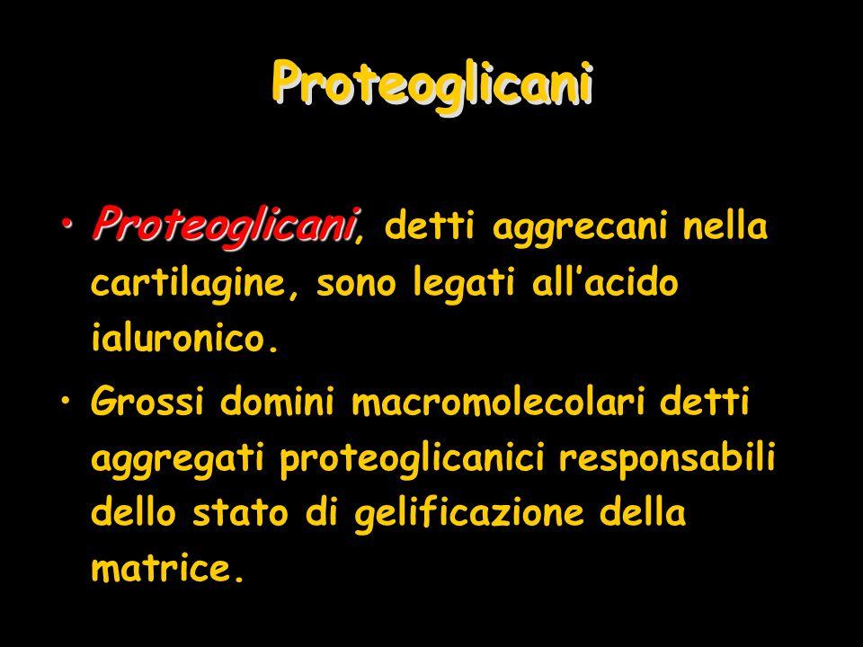 Proteoglicani Proteoglicani, detti aggrecani nella cartilagine, sono legati all'acido ialuronico.