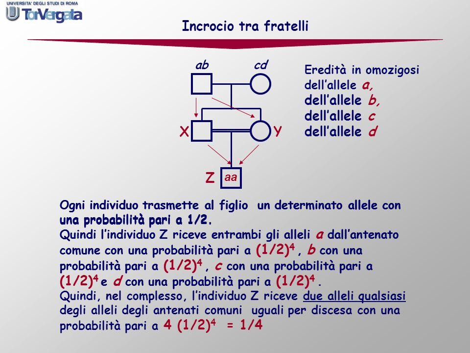 Incrocio tra fratelli dell'allele b, dell'allele c dell'allele d X Y Z
