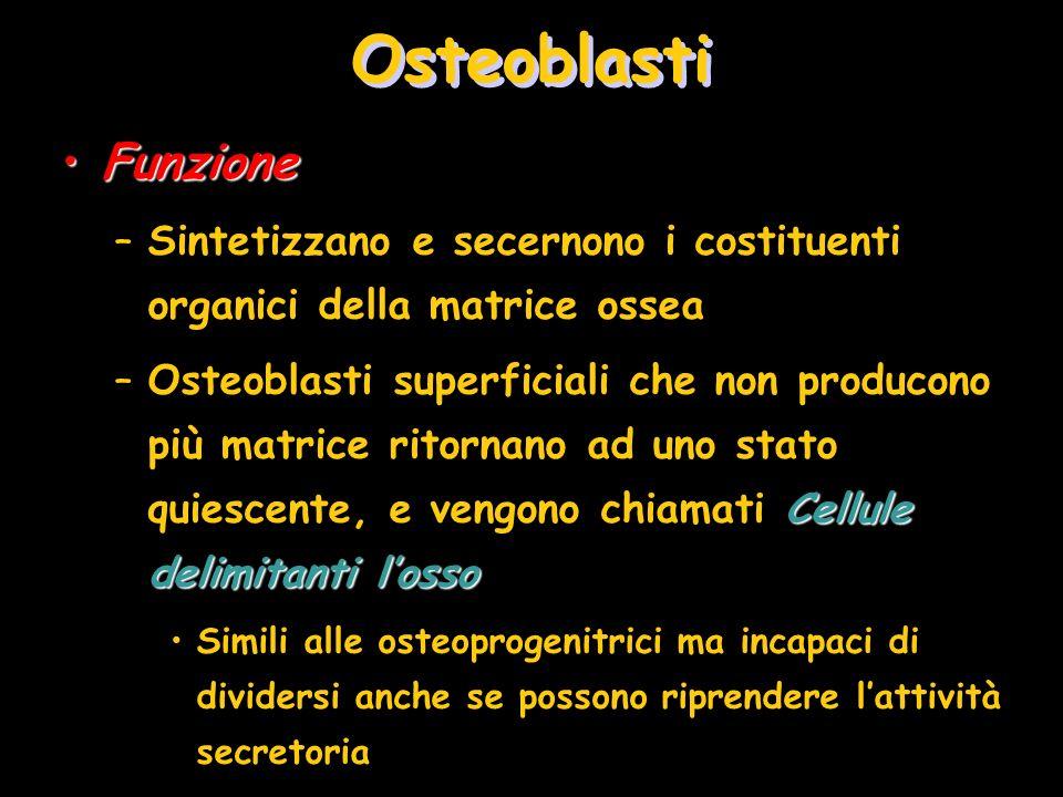 Osteoblasti Funzione. Sintetizzano e secernono i costituenti organici della matrice ossea.