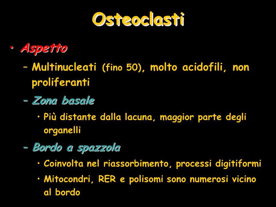 Osteoclasti Aspetto. Multinucleati (fino 50), molto acidofili, non proliferanti. Zona basale.