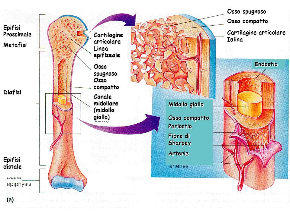 EpifisiProssimale. Metafisi. Diafisi. Epifisi distale. Cartilagine articolare. Linea epifiseale. Osso spugnoso.