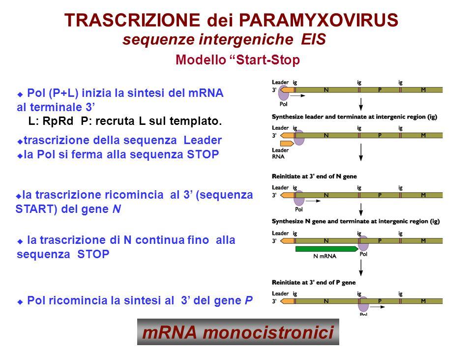 sequenze intergeniche EIS TRASCRIZIONE dei PARAMYXOVIRUS