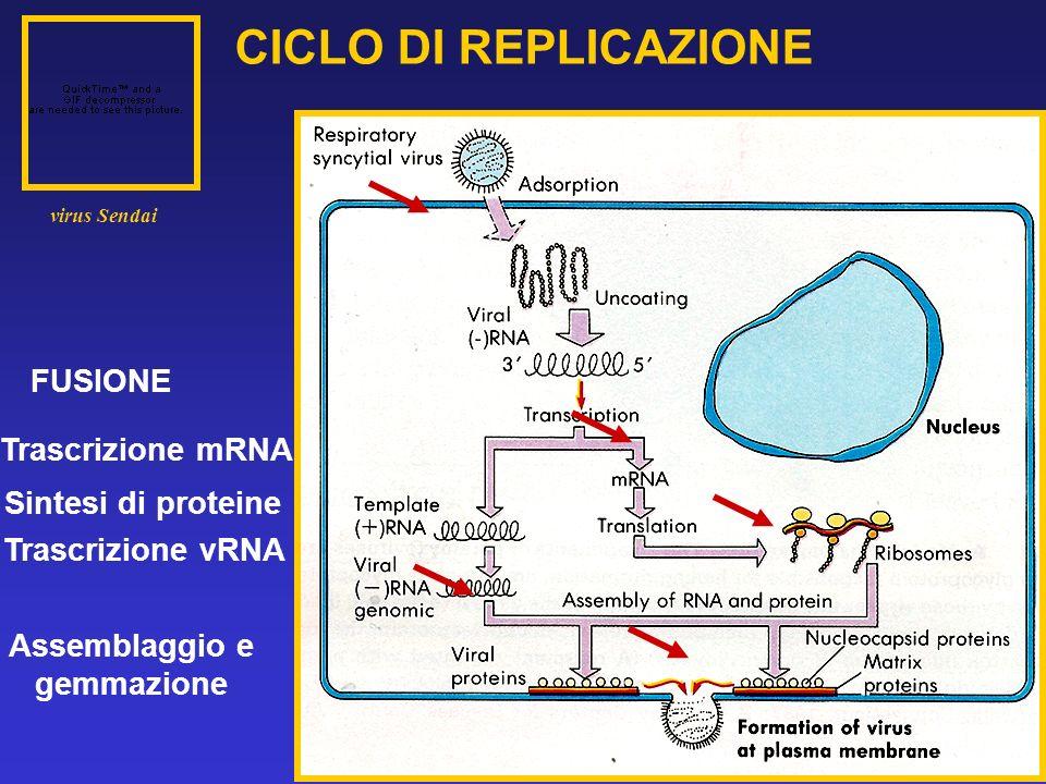 CICLO DI REPLICAZIONE FUSIONE Trascrizione mRNA Sintesi di proteine