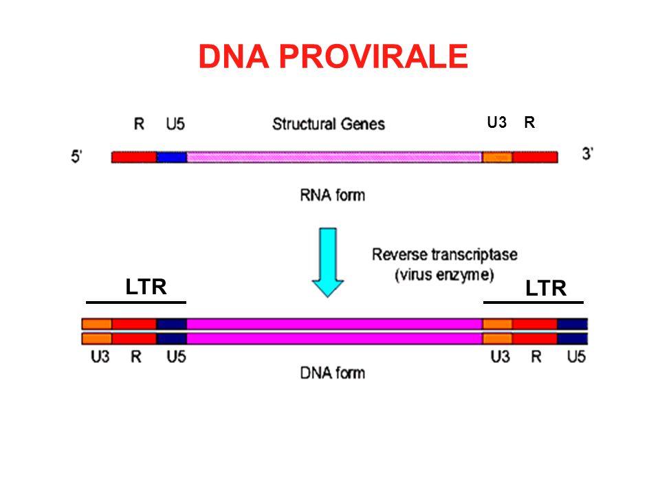 DNA PROVIRALE U3 R LTR