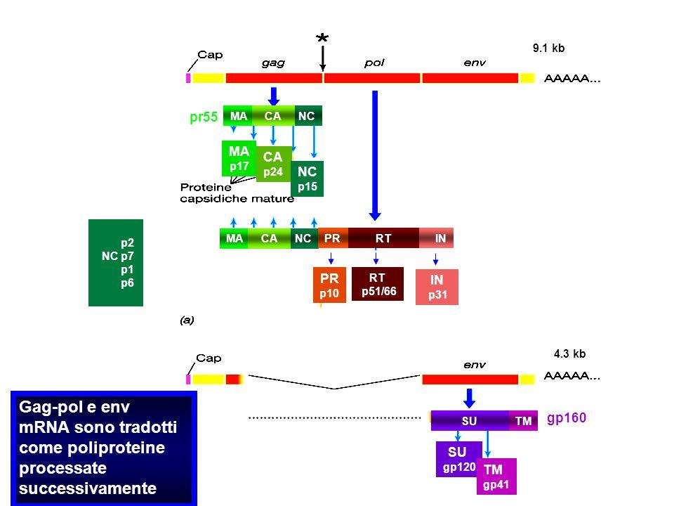Gag-pol e env mRNA sono tradotti come poliproteine processate