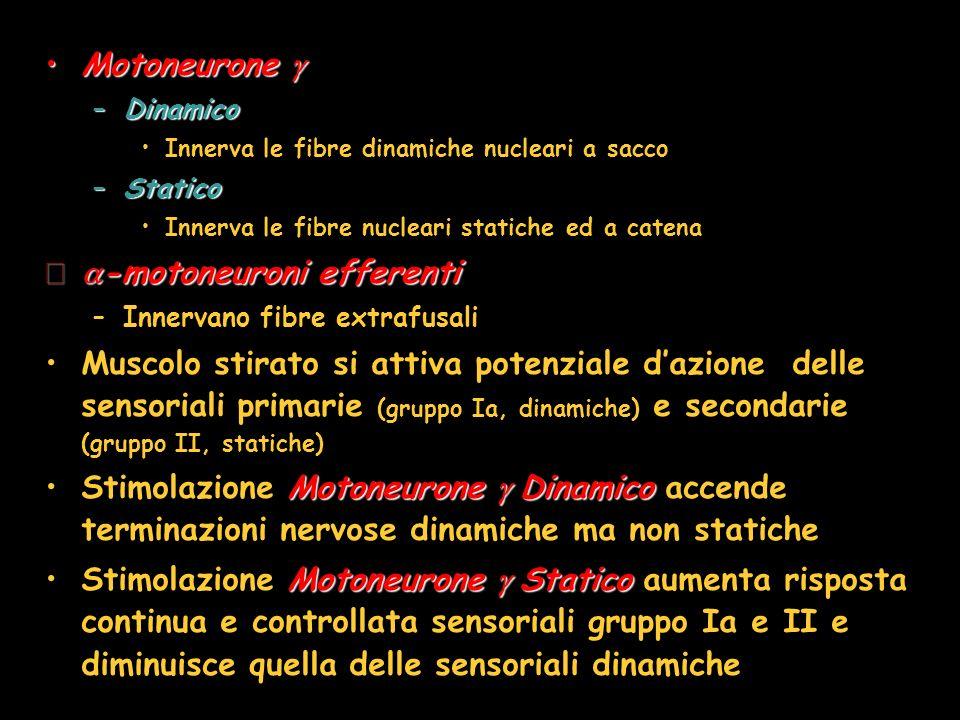 -motoneuroni efferenti